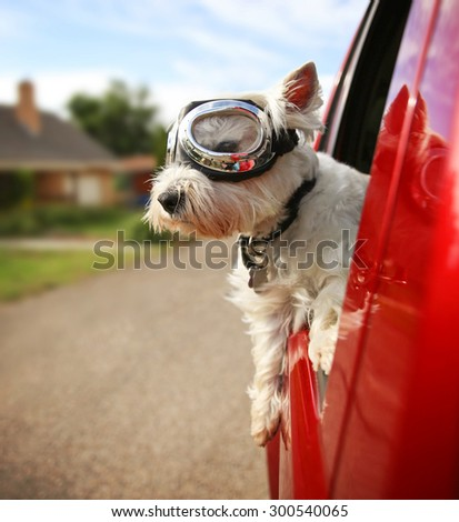 a cute westie - west highland terrier with goggles on riding in a car down an urban neighborhood road - stock photo