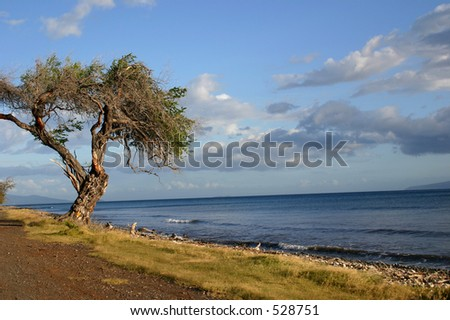 A different looking knarled tree from the coast of Maui. - stock photo