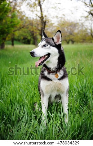 a dog husky walking in a park