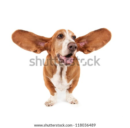 a funny basset hound isolated on white a background - stock photo