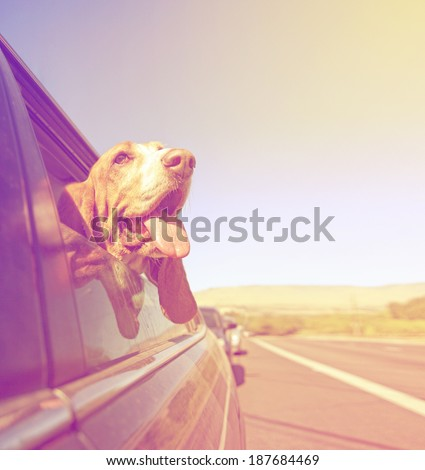 a funny basset hound with her head out of a car window and tongue out done with a vintage retro toned instagram filter - stock photo