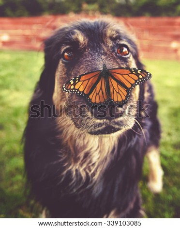 a german shepherd dog with a butterfly on her nose - close up toned with a retro vintage instagram filter app or action effect (SHALLOW DOF)  - stock photo