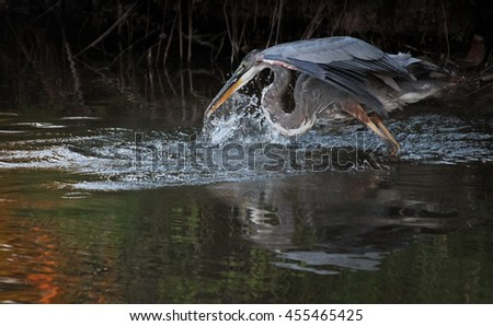 a great blue heron in a local wildlife sanctuary park pond trying to catch a fish at sunset with a huge splash - taken in low light with minor grain in the shadows  - stock photo