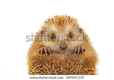 A hedgehog in the white background, filmed in the studio  - stock photo