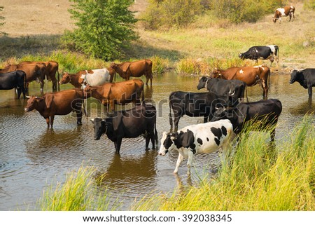 A herd of cows had gone into the river to drink - stock photo