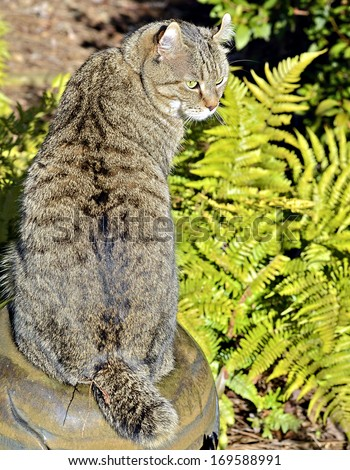 A Highlander Lynx cat  and ferns in a garden - stock photo