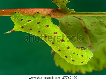 A horntail caterpillar resting on a branch - stock photo