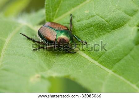 A Japanese Beetle on a giant ragweed leaf - stock photo