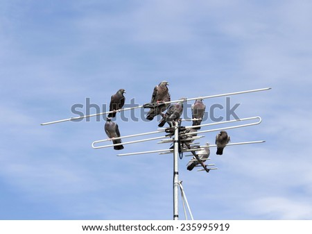 A kit or loft of  grey  pigeons constituting  the bird clade Columbidae sit  on a  TV antenna of an iron roofed suburban house on a  hazy cloudy  but sunny afternoon in early summer.  - stock photo