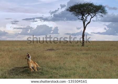 """A lioness yawning somewhere in the African savannah, the image background stands an acacia. Cloudy day - stock photo"