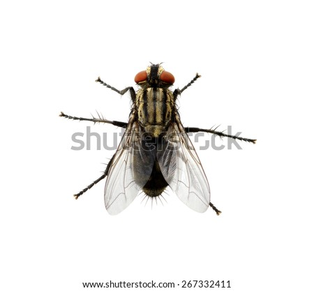 A macro shot of fly on a white background . Live house fly .Insect close-up - stock photo