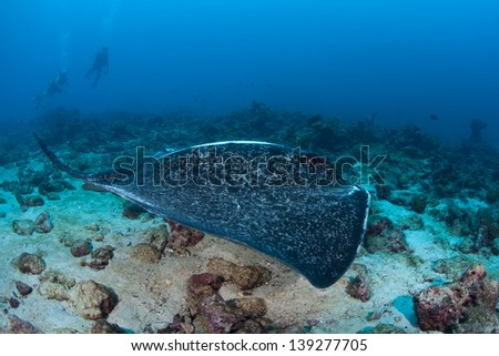 A Marbled ray (Taeniura meyeni) cruises over a rubble bottom near Cocos Island, Costa Rica.  Cocos, a national park, is known for its large shark population. - stock photo