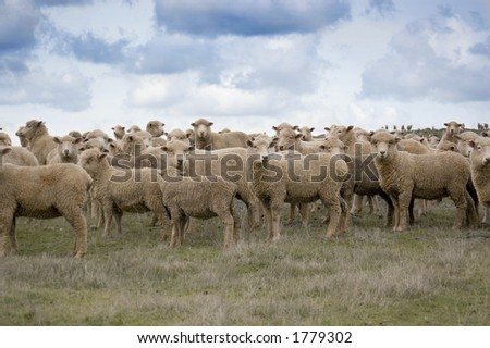 A mob of sheep on a hillside on a cloudy day. - stock photo