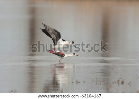 a pair of black winged stilt (Himantopus himantopus) - stock photo