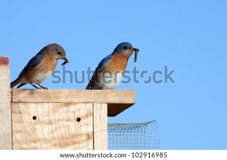 A pair of Eastern Bluebirds sitting on a nesting box and ready to feed the baby birds worms held in their beaks. - stock photo