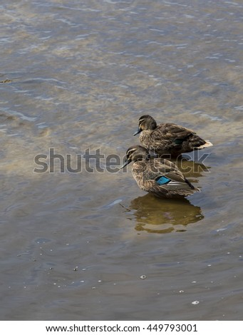A pair of Pacific Black ducks standing in the shallow water of the lake  at Big Swamp Bunbury Western Australia on a sunny afternoon in early summer have been preening their feathers.