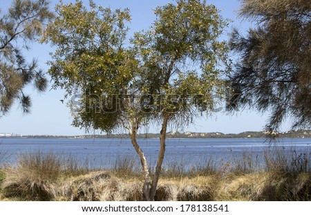 A paperbark or melaleuca tree on the edge of the Leschenault estuary near Bunbury Western Australia on a sunny morning in late summer provides shade. - stock photo