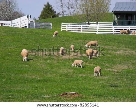 A peaceful farm scene of sheep grazing in rural America. - stock photo
