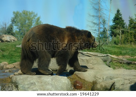 A picture of a big grizzly bear walking across rocks