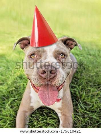 a pit bull terrier with a red party hat on  - stock photo