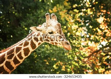 a portrait of a pretty giraffe in a zoo  - stock photo