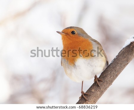 A Robin (Erithacus rubecula) perching on a twig.