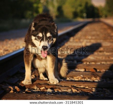 a senior mixed breed dog sitting on some train tracks with a long shadow cast by the setting sun during sunset on a warm summer evening (VERY SHALLOW DOF) - stock photo