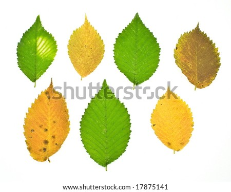 a set colorful autumn elm leafs on white background - stock photo