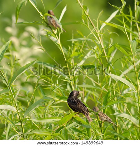 A starling and a swallow in a willow
