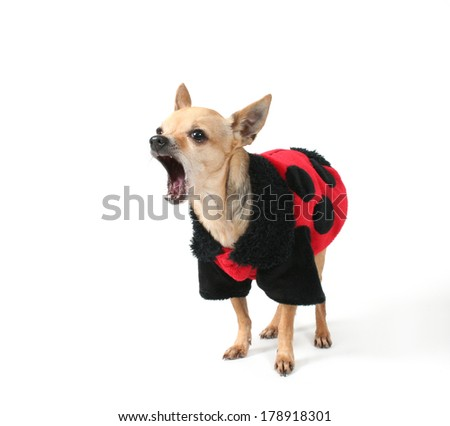 a tiny chihuahua dressed in a ladybug pattern coat
