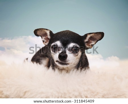 a tiny chihuahua on a cloud in the sky  - stock photo