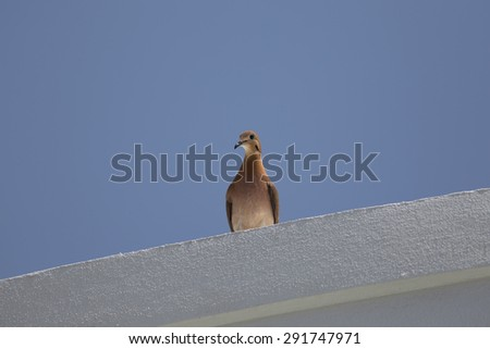 A Turtle Dove (Streptopelia capicola) Perched on a Roof - stock photo