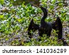 A Very Wet Anhinga (Anhinga anhinga), (also known as a Darter, Snakebird, or Water Turkey) Using his Shadow to Hunt for Fish in Brazos Bend, Texas. - stock photo