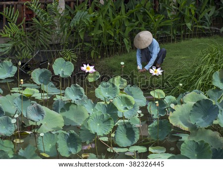 A Vietnamese woman tending the garden with lotus ponds.  The pink Lotus, Nelumbo nucifera, is revered in many Asian countries,  Flower stems, seeds, rhizomes and petals are all used in food dishes. - stock photo