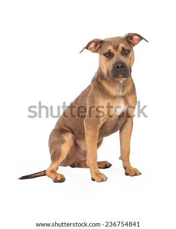 A well trained Staffordshire Bull Terrier Mix Breed Dog sitting at an angle while looking forward.