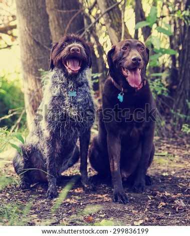 a wirehaired pointer griffon and a chocolate labrador retriever out in nature looking at a ball to be thrown toned with a retro vintage instagram filter app or action effect  - stock photo
