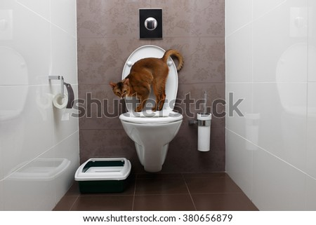 Abyssinian Cat Sits on a toilet Bowl and Curious Looking in Camera - stock photo