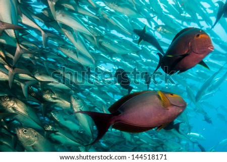 (Acanthurus xanthopterus) Yellowfin or purple Surgeonfish  in a shipwreck. reefs of the Sea of Cortez, Pacific ocean. Cabo Pulmo, Baja California Sur, Mexico. Cousteau named it The world's aquarium.