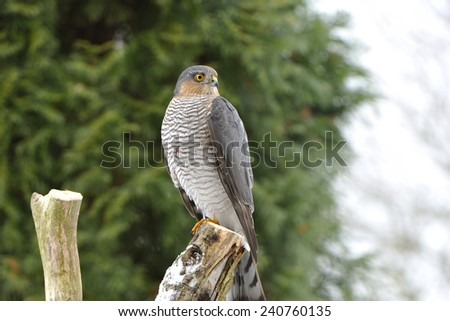 (Accipiter nisus) .Eurasian Sparrowhawk after unsuccessful hunt.  - stock photo