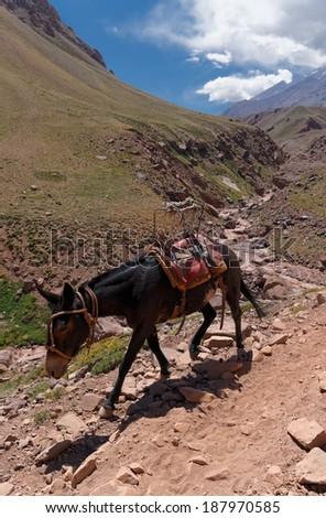 Aconcagua provincial park, Mendoza, Argentina. Cargo Mule on the path to Plaza de Mulas base camp  - stock photo