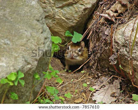 adorable chipmunk in the garden