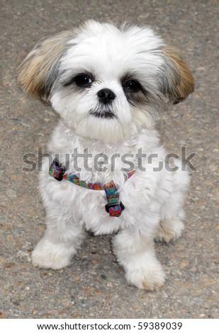 adorable shitzu maltese mixed breed puppy - stock photo