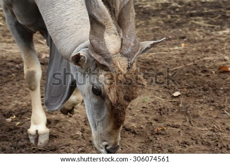 Africa eland with twist horn, animal  eating grass on ground ,Eland, Taurotragus oryx, single mammal head shot, South Africa, deer