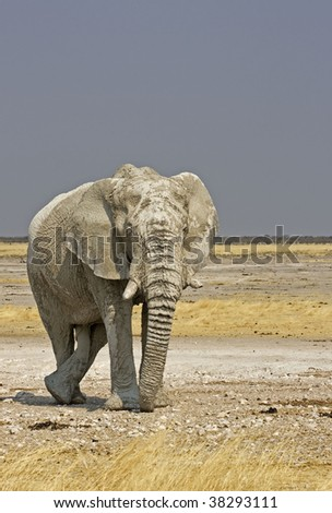 African elephant standing in field full of white lime-stone mud; Loxodonta Africana