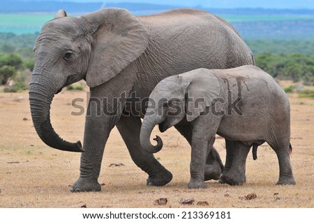African Elephants walking herd  - stock photo