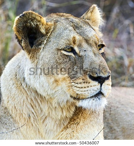 African lioness in Hlane National Park, Swaziland - stock photo