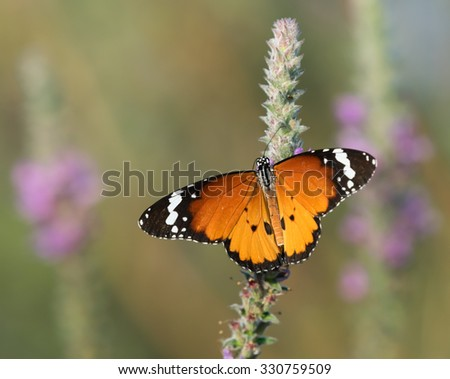 African Monarch butterfly - stock photo
