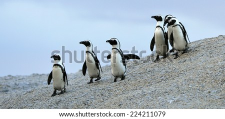 African penguins (spheniscus demersus) at the Boulders colony. South Africa  - stock photo