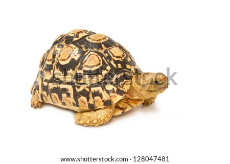African spurred sulcata Tortoise, Geochelone sulcata,  on white background - stock photo