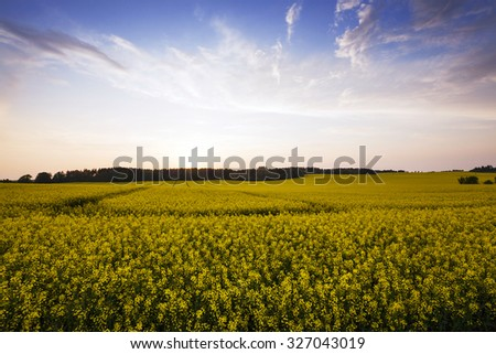 Agricultural field on which grow canola. at sunset